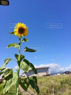 屋外,ひまわり,青い空,田舎