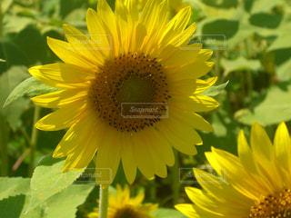 花,夏,ひまわり