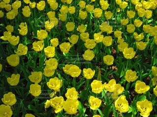 花,花畑,黄色,チューリップ