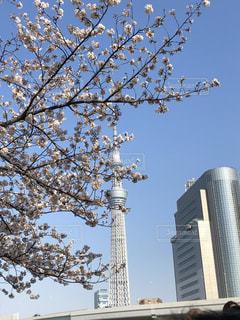 桜,スカイツリー,花見