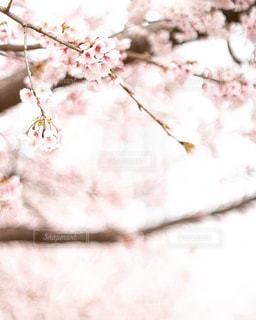 散歩中に桜見の写真・画像素材[1841349]