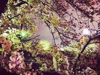 夜桜見物の写真・画像素材[1841352]