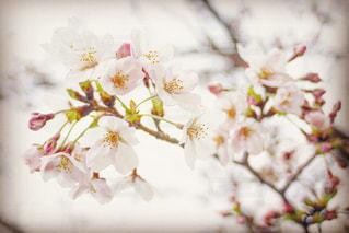 曇天の桜の写真・画像素材[1841354]