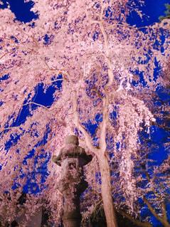 桜,夜桜,高田公園,新潟県,上越市