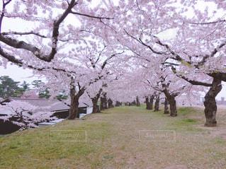 花,春,桜,ピンク,サクラ,お花見,さくら,フォトジェニック,インスタ映え