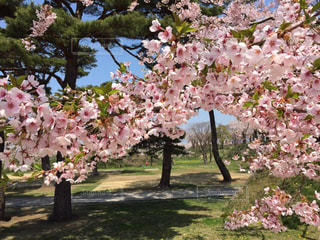 花,春,桜,ピンク,景色,サクラ,お花見,さくら,フォトジェニック,インスタ映え
