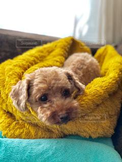 犬,動物,黄色,茶色,日光,クッション,可愛い,ソファ,毛布,暖かい,トイプードル,窓際,ベージュ,ひなたぼっこ,お気に入り,ブランケット,ミルクティー色,薄茶色,屋内室内