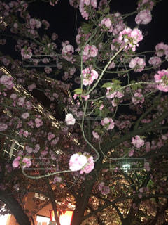 花,桜,花見,夜桜,お花見