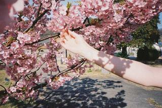 桜の影の写真・画像素材[1842657]