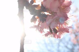 光る桜の写真・画像素材[1842693]
