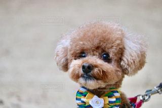 犬,茶色,女の子,ふわふわ,可愛い,プードル,トイプードル,ベージュ,一眼レフ,ミルクティー,ドッグ,フワフワ,フォトジェニック,インスタ映え,ミルクティー色