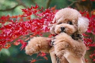 犬,紅葉,赤,茶色,女の子,ふわふわ,楓,可愛い,プードル,トイプードル,ベージュ,一眼レフ,ミルクティー,ドッグ,カエデ,フォトジェニック,インスタ映え,ミルクティー色