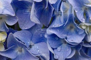 雨も滴るいい紫陽花の写真・画像素材[2175319]