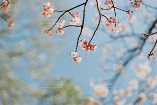 空,花,春,カメラ,屋外,枝,鮮やか,樹木,つぼみ,蕾,フィルム,フィルムカメラ,桜の花,さくら,ブロッサム