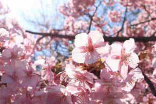 花,春,カメラ,カメラ女子,景色,鮮やか,樹木,草木,桜の花,さくら