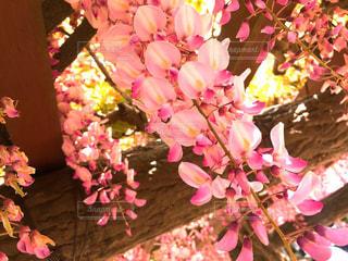 ピンクの藤の花の写真・画像素材[2145204]
