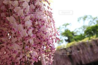 青空と藤の花の写真・画像素材[2145225]