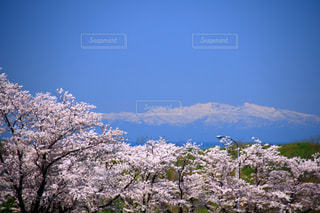 花,春,桜,雪山,北海道,美しい,2018