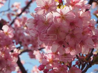 花,春,桜,ピンク,お花見,河津桜