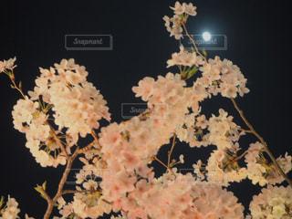 花,春,ピンク,夜桜,お花見,目黒