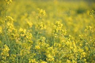 菜の花畑の写真・画像素材[1850447]