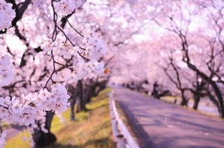自然,花,春,桜,ピンク,綺麗,新生活,香り,さくら