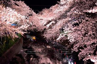 自然,花,春,桜,ピンク,綺麗,花見,夜桜,お花見,さくら