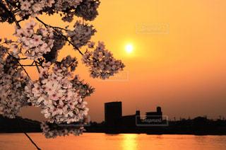 自然,春,夕日,桜,ピンク,綺麗,夕暮れ,花見,オレンジ,さくら