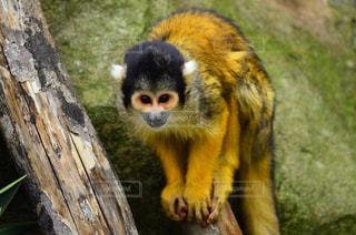 猿,動物,かわいい,黄色,鮮やか,動物園,イエロー,カラー,色,霊長類,リスザル