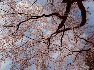 花,春,桜,屋外,東京,青空,景色,お花見,都会の桜