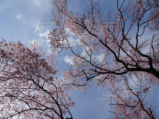 花,春,桜,屋外,雲,青空,景色,お花見,そら