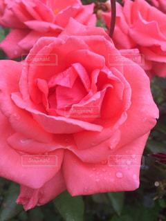 ピンク,薔薇,雫,ローズ,ピンクの薔薇,ピンクローズ,水の雫