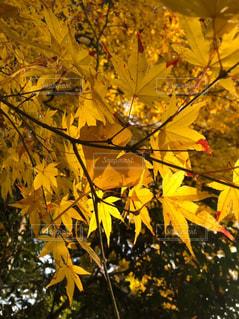 紅葉,黄色,楓,イエロー,yellow