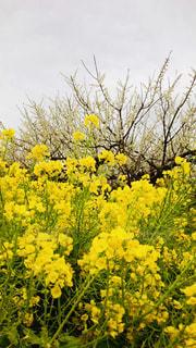 梅,黄色,菜の花,イエロー,yellow
