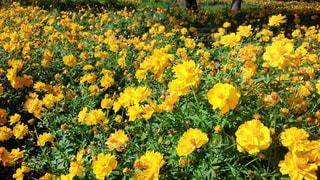 黄色の花の写真・画像素材[1857297]