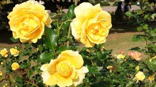 自然,風景,花,秋,黄色,バラ,薔薇