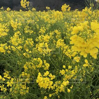 菜の花畑の写真・画像素材[1863680]
