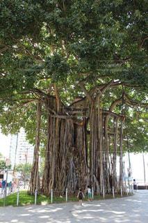 自然,海外,アメリカ,観光,旅行,パワースポット,ハワイ,海外旅行,ホノルル,バニヤンツリー