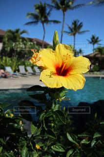 花,夏,プール,ハイビスカス,黄色,樹木,ハワイ,リゾート,草木,yellow,休暇
