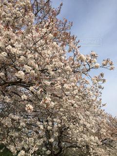 花,春,桜,屋外,ピンク,景色,樹木,草木,ブロッサム