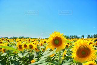 自然,風景,夏,ひまわり,青空,黄色,北海道,鮮やか,イエロー,色,黄,ひまわりの里