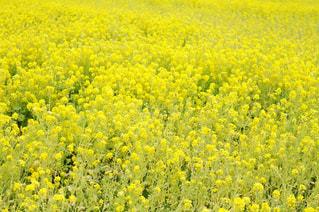 自然,花,春,花畑,フラワー,黄色,菜の花,鮮やか,雄大,イエロー,ナチュラル,菜の花畑,黄,一面,原っぱ,3月,Spring,yellow,早春,あたたか,春の始まり,レモン色