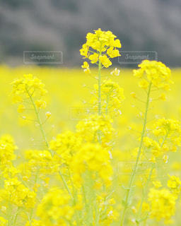 自然,春,花畑,フラワー,黄色,菜の花,鮮やか,雄大,イエロー,ナチュラル,菜の花畑,黄,一面,原っぱ,3月,yellow,早春,春の始まり,レモン色