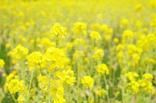 自然,花,春,フラワー,黄色,菜の花,景色,鮮やか,雄大,イエロー,ナチュラル,黄,一面,原っぱ,草木,3月,早春,春の始まり,レモン色