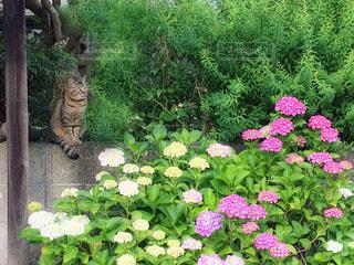猫と紫陽花の花園の写真・画像素材[2263082]