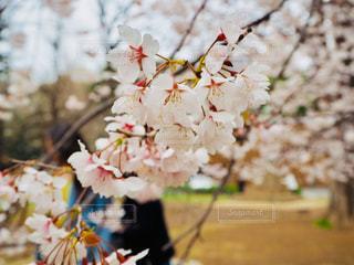桜,お花見,東大,サクラサク