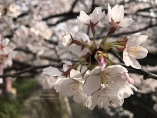 春,桜,ピンク,川,花見,お花見,日本
