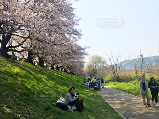 自然,春,桜,ピンク,川,花見,お花見,日本,桜の季節