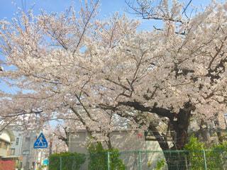 公園,春,桜,お花見,桜前線,平成最後の春