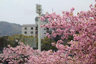 花,春,桜,緋寒桜